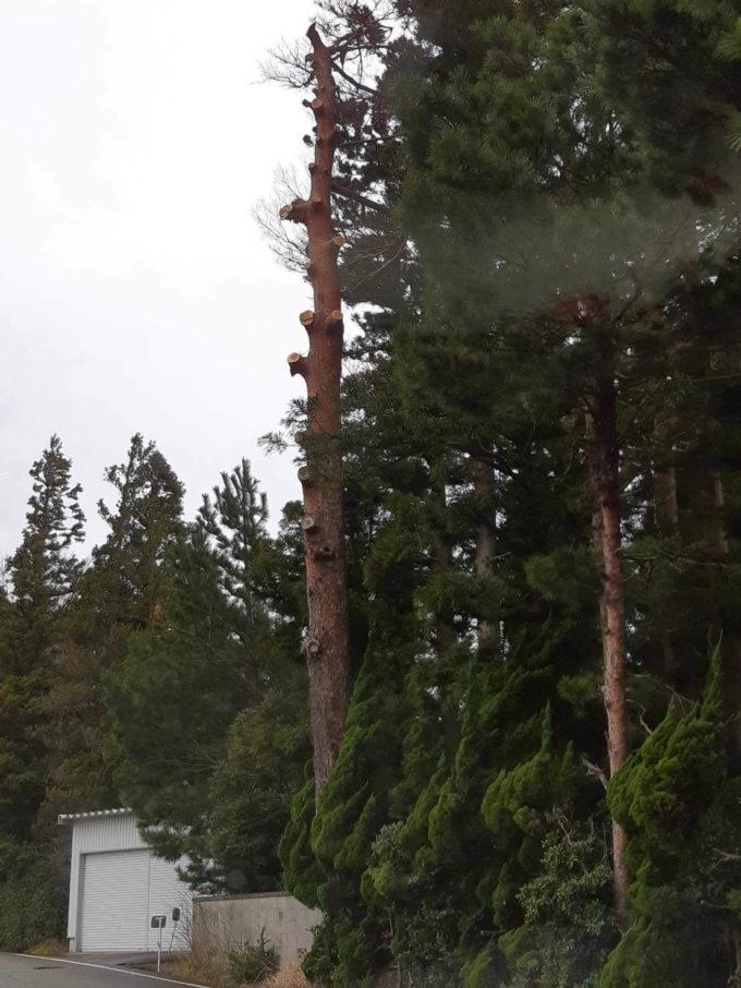市が松の枝を伐採後の写真。実際は全ての枝が除去される