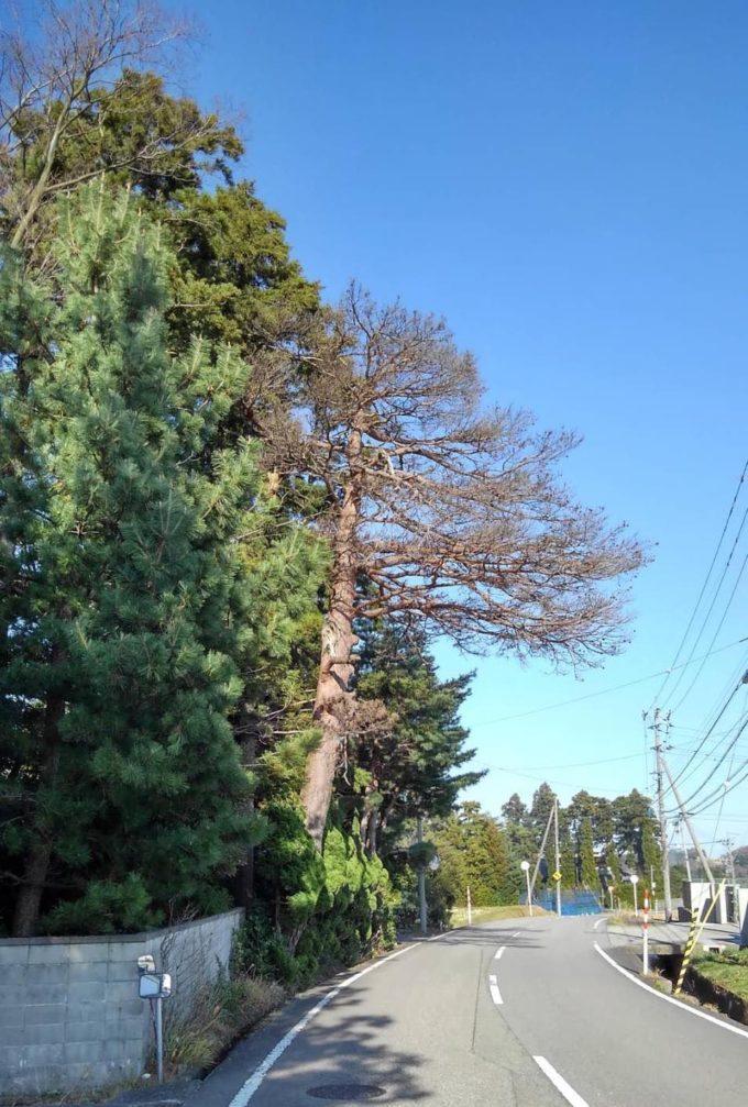 松食い虫にやられた30mの枯れた松の木が道路にはみ出す写真